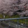 Primavera 2010 - Fin de los sakuras